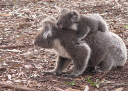 Koalas Hanson